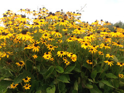 Perennials - Black Eyed Susans