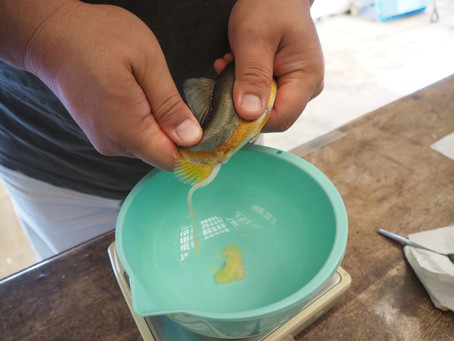 アユの人工採卵