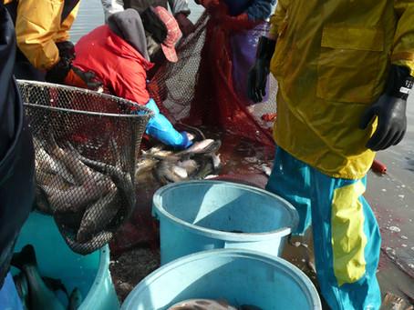 北潟漁協の地引網が始まりました。