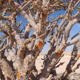52886364-boswellia-tree-frankincense-oli
