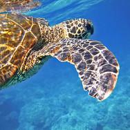 sea-turtle-547163.jpg