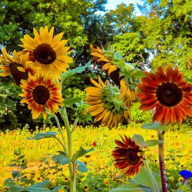 ACTWST_sunflower 2019 3.jpeg