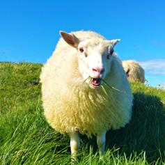 39 chewing sheep.jpg