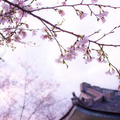 branch-cherry-blossom-environment-356269