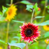 ACTWST_sunflower 2019 5.jpeg