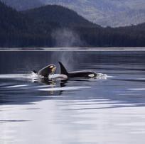 killer-whales-1945428.jpg