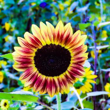 ACTWST_sunflowers 2019 1.jpeg