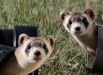 black-footed-ferrets-967192_1280.jpg