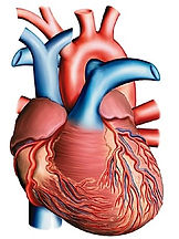 Muscle_cardiaque.jpg