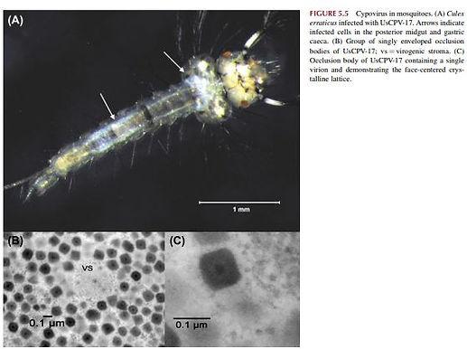 virus insect2.JPG