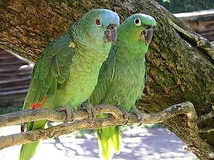 perroquet Amazon à front bleu