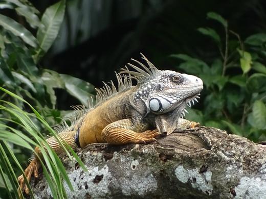 panama iguana