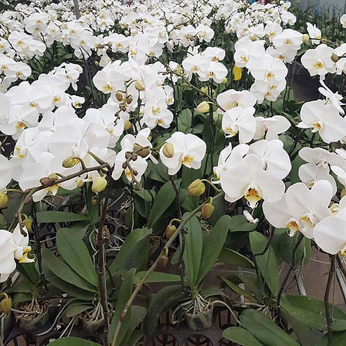Phalaepnosis orchid