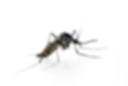 mmus-articles-how-far-fo-mosquitoes-fly-