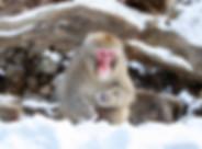 snow-monkey-3970270_640.jpg