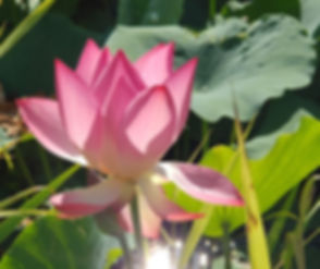 lomi lotus square tiny.jpg