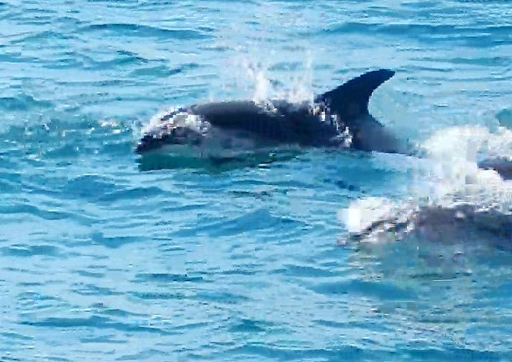white sided dolphins