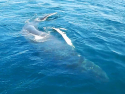 lil calf of Echo the humpback rolling around