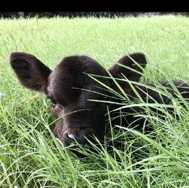 Gelbvieh calf