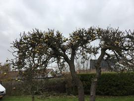 beskåret æbletræ