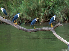 Pied Herons