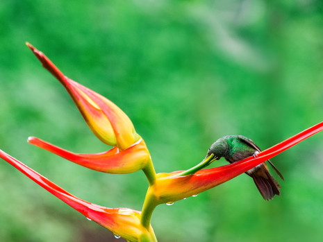 Hummer & Heliconia