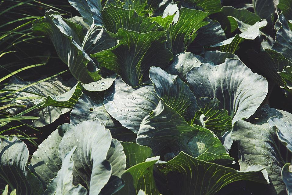 green-cabbage-in-garden.jpg