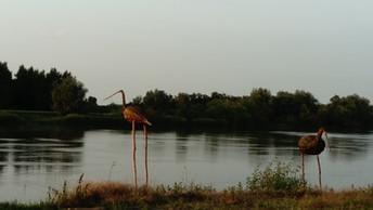 Waterbirds by the river