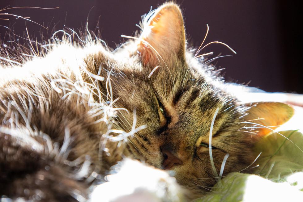Fluffly Cat in Sunlight