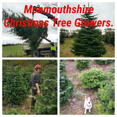Christmas trees Abergavenny, Monmouth