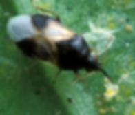 Orius_insidiosus_from_USDA_2_(cropped).j