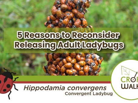 5 Reasons to Reconsider Releasing Adult Ladybugs