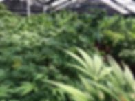 hemp in greenhouse 5.jpeg