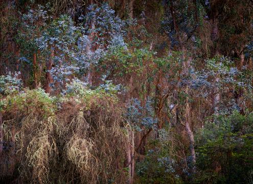 """Haleakala Eucalyptus"""