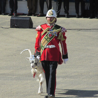 The Regimental Mascot of the Royal Welsh marching of parade behind the combined brass bands