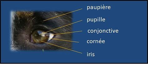 Maladies des yeux - chien - chat - Ophtovet-Méditerranée