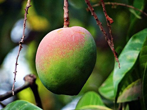 Mangue  - 1 pce -Pérou
