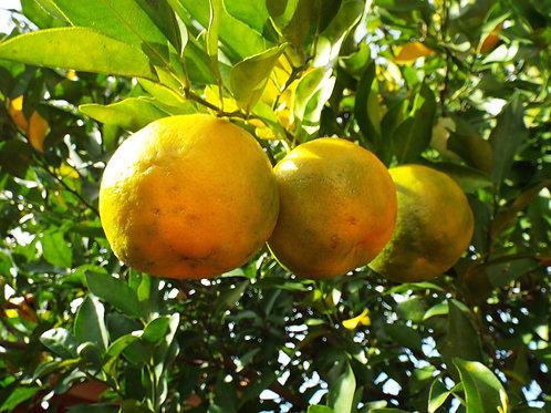 Citron Bergamote - 500g - Italie