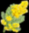 mimosa .png