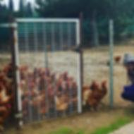 Nos poules - direct producteur