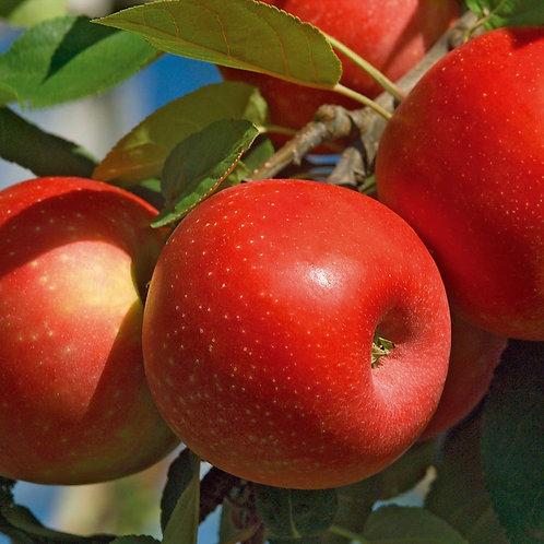 Pomme ''Elstar'' - 500g - Arles