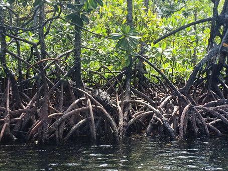 The Importance of Togean Mangrove Forests