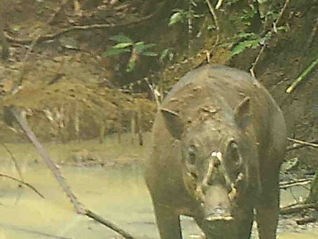 ENDEMIC SPECIES - Togian Babirusa