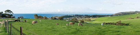 Cows overlooking Penneshaw