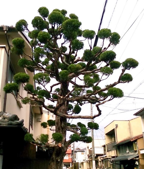 いぶきの木