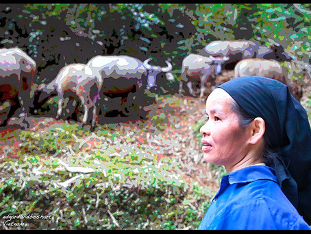 Vietnam Redo: Water and Buffalo in the North Country