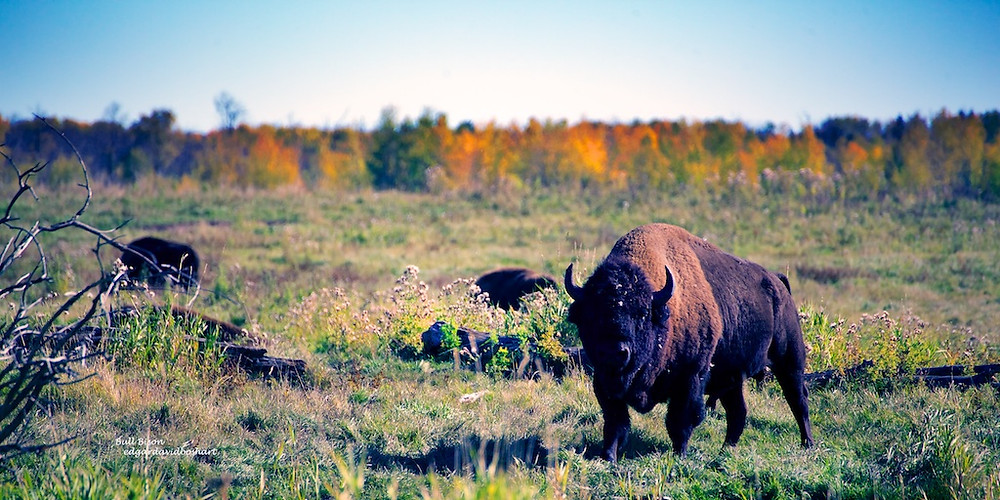 There are two species of Bison, wood and plains