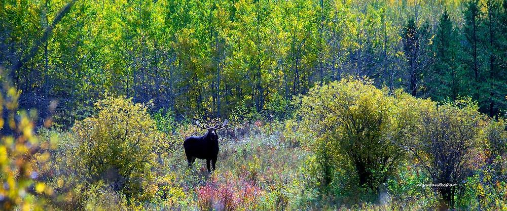 Bull Moose, Riding Mountain National Park