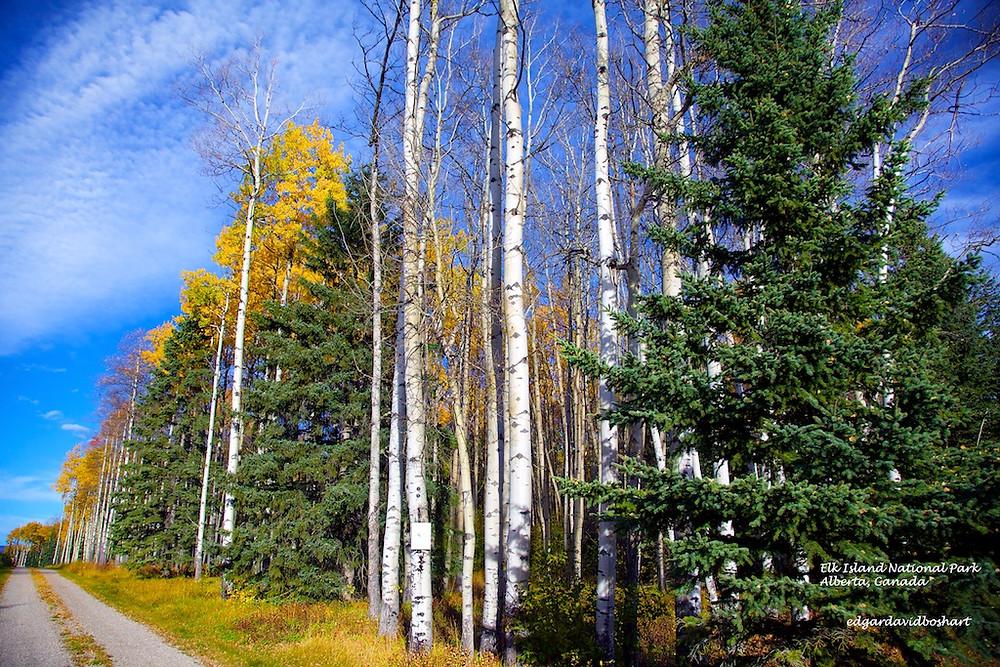 Aspen Share the Alberta Roads with Conifers