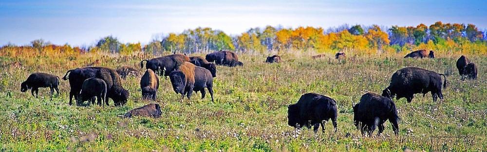 Elk Island's resident bison herd